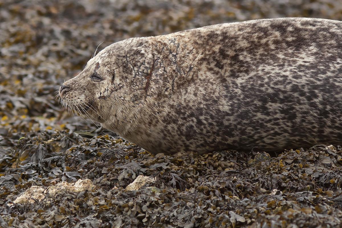 Grey Seal, Rathlin Island