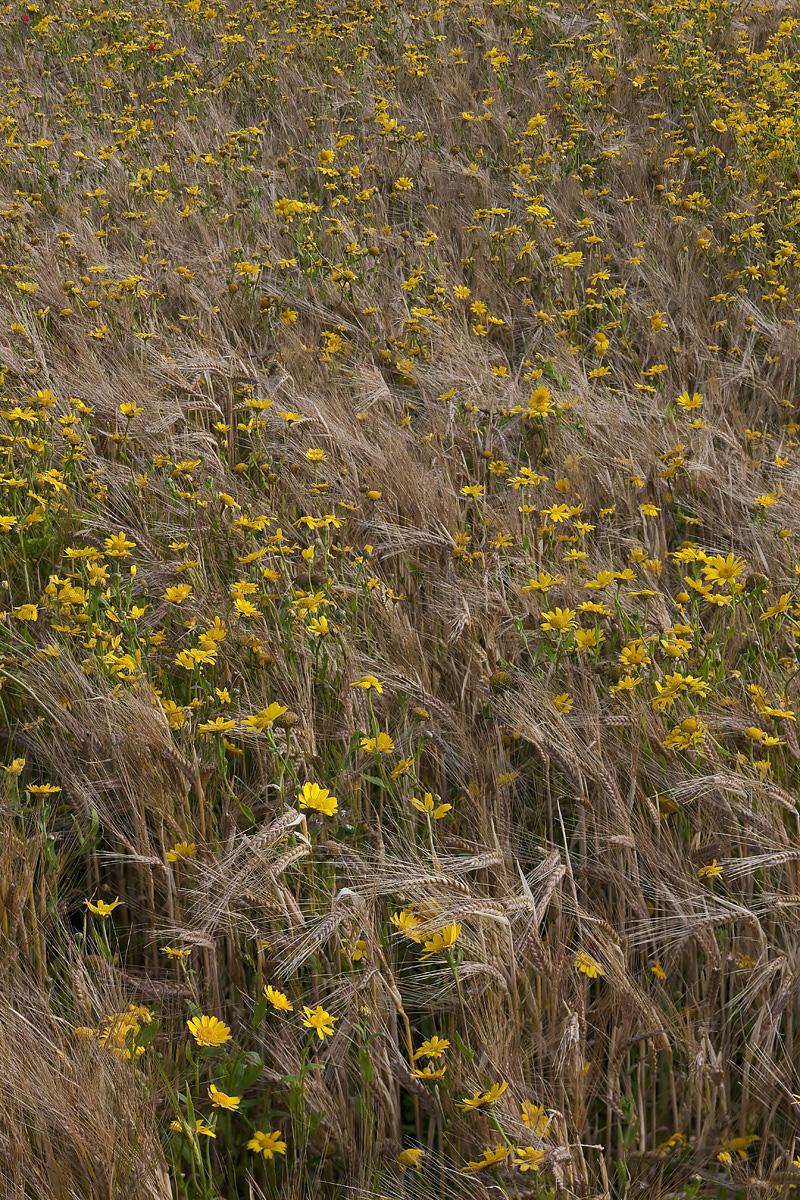 Corn Marigold I
