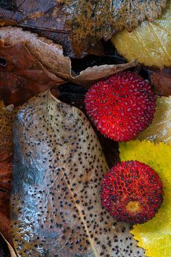 Strawberry Tree Fruits