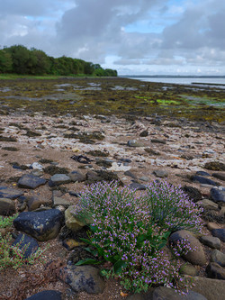 Sea Lavender at Poulnasherry Bay