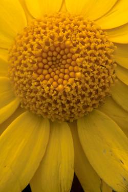 Corn Marigold II