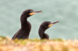 Cormorant Chicks