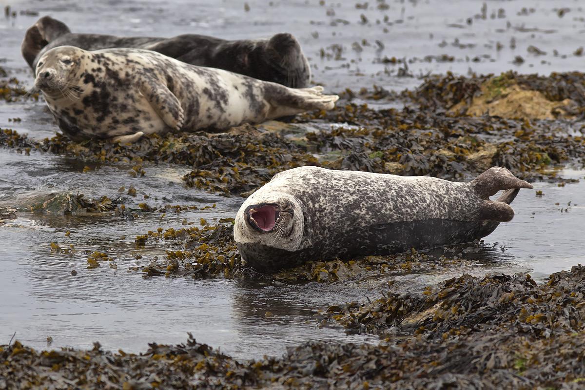 Grey Seals, Rathlin Island