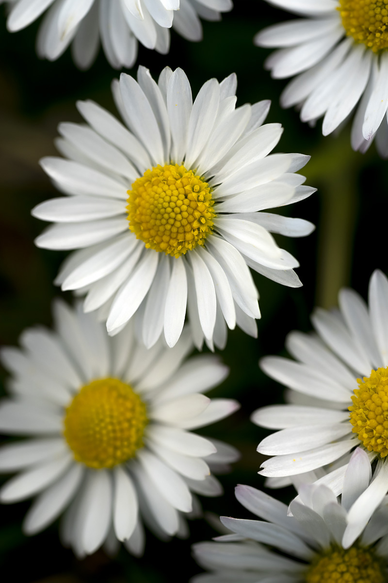 Daisy I
