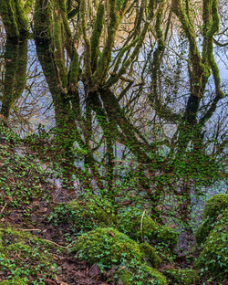 Flooded Hazel Forest