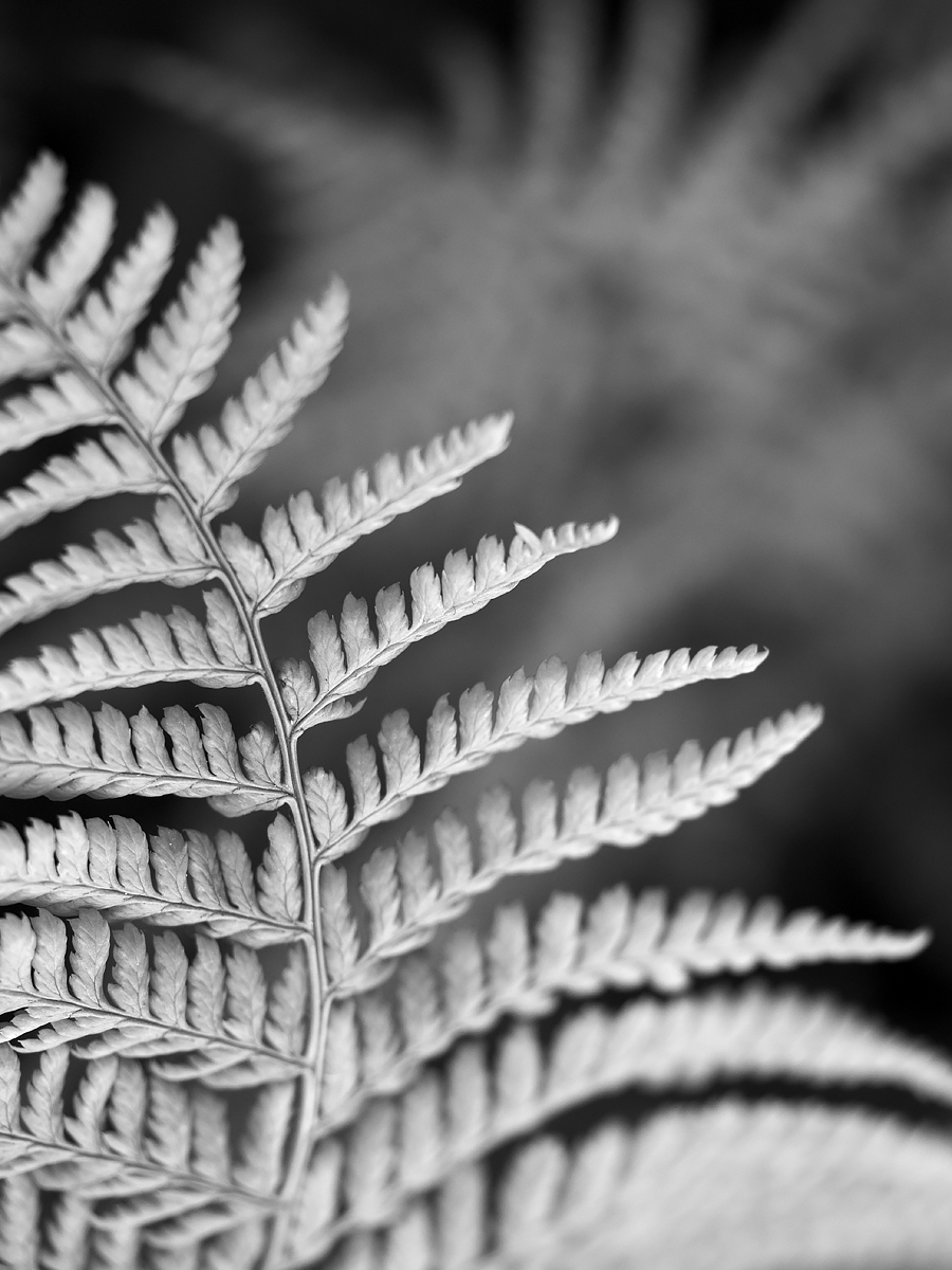 Scaly Male Fern, County Clare