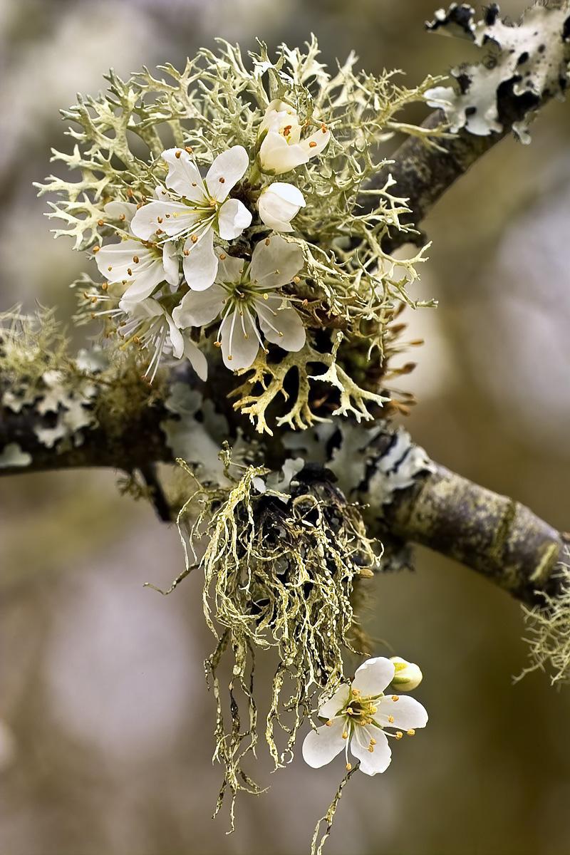 Blackthorn & Lichen