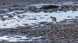 Curlew with Shore Crab