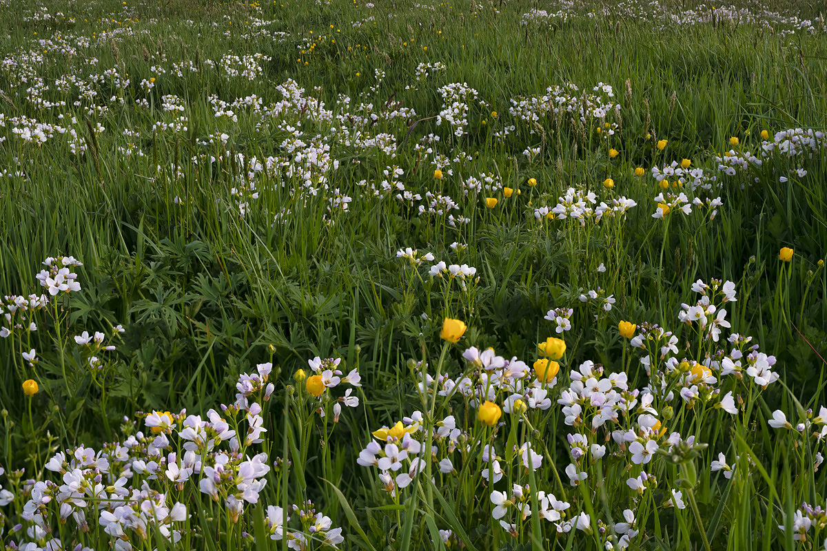 Cuckoo Flower with Buttercups