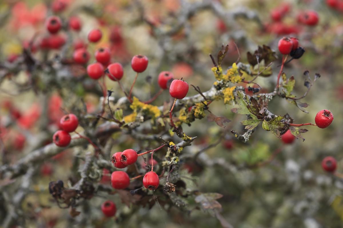 Hawthorn Fruits