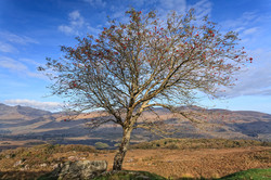 Lone Ash Tree