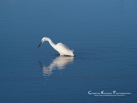 Species Profile: Little Egret (Egretta garzetta)