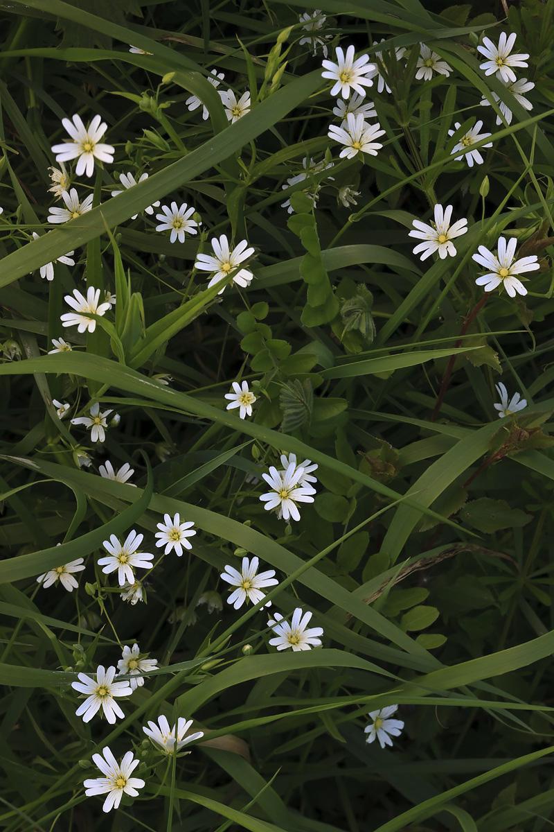 Greater Stitchwort I