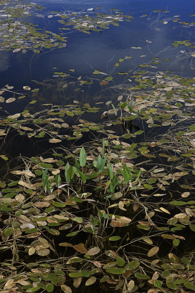 Bog Pool with Pondweed