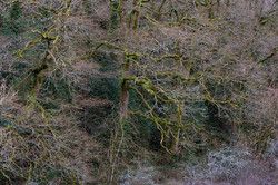 Oak Forest, Nore Valley, County Kilkenny