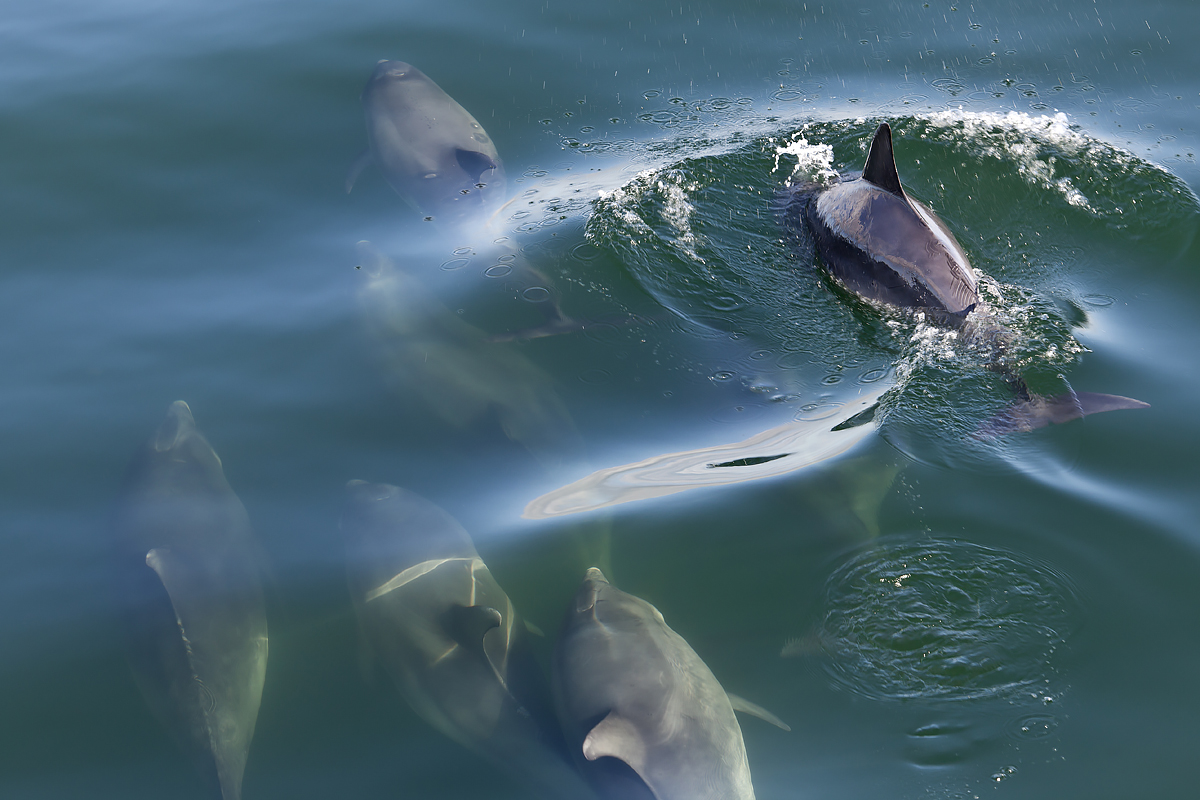 Shannon Dolphins I