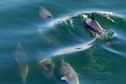 Shannon Dolphins