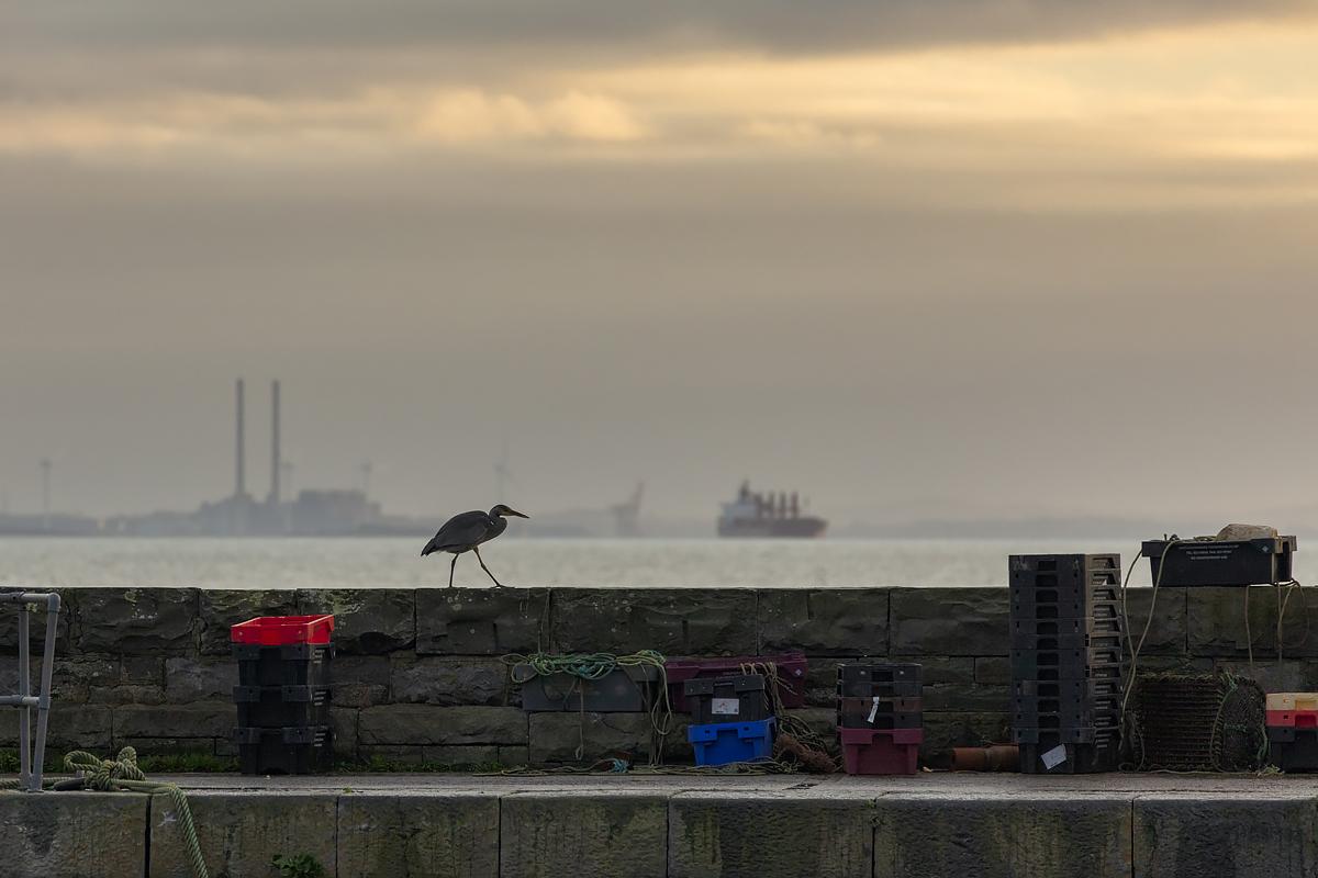 Grey Heron at Carrigaholt Pier