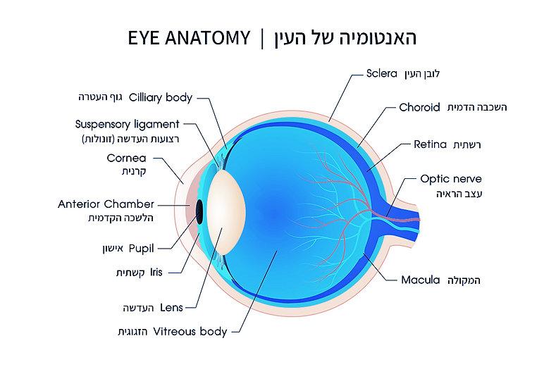 _fix-smallעין---אנטומיה.jpg