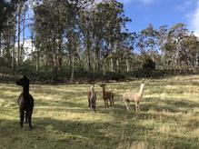 The Alpacas - careful, they spit!