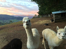 Alpacas at Dawn