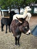 Miniature Donkey and Alpacas