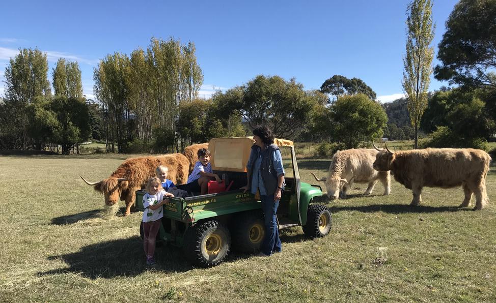 Feeding the Highland Cows