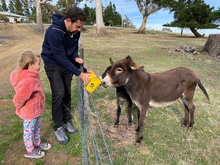Feeding the minature donkeys
