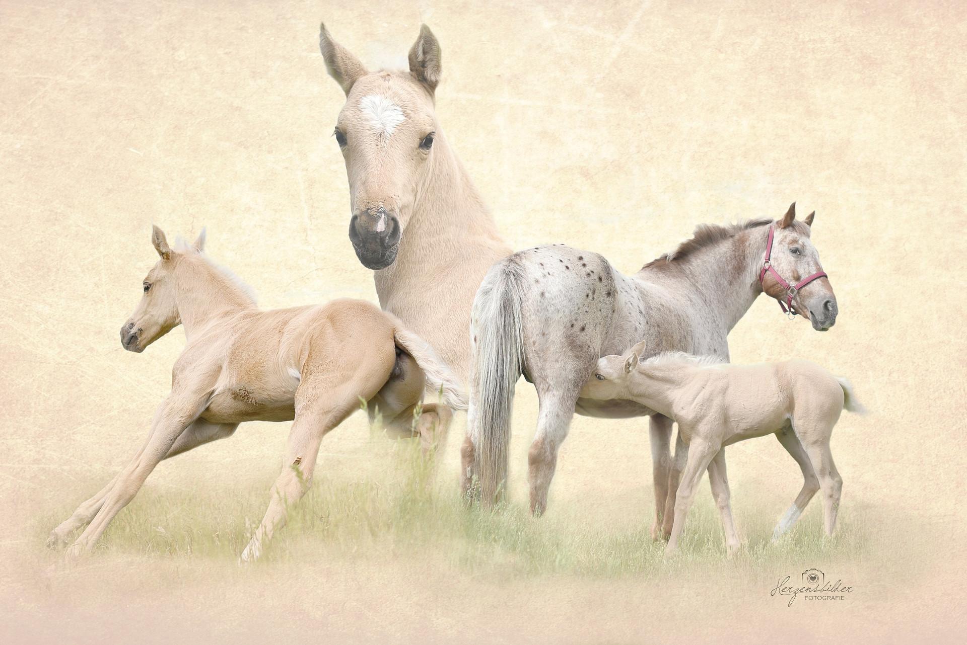 Pferde Wildpferde Hengst Schnee reiten Halle Fotos Pferd SeaHorse Ranch Palomino Apaloosa