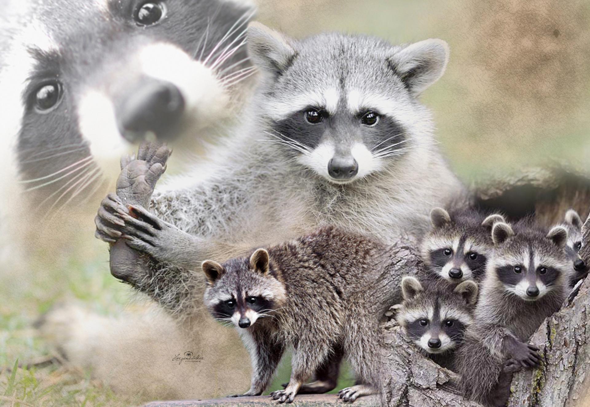 Herzensbilder Tierfotos Halle Fotografie Waschbären