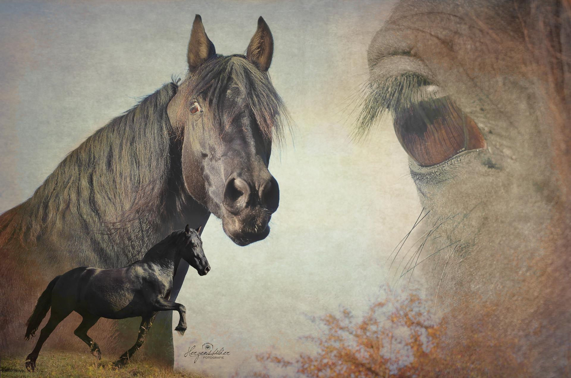 Tierfotografie Halle Tierfoto Shetty Uwe Ulrich Pferd Hengst Freiheit Araber