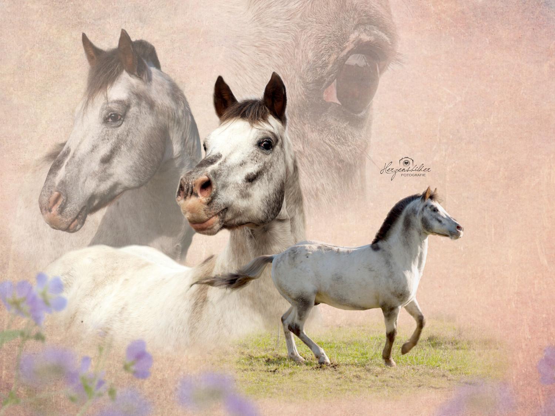 Tierfotografie Tierfotos Halle Tierfoto Shetty Uwe Ulrich Pferd Hengst Freiheit