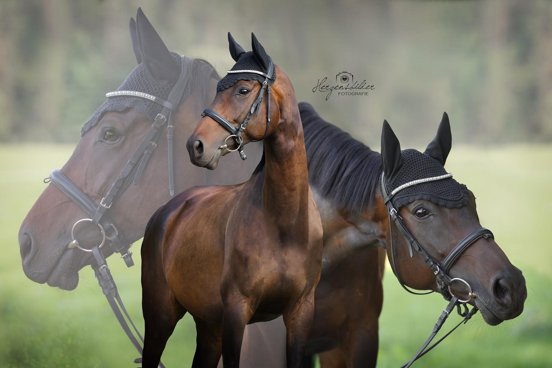 Hannoveraner Zucht Foto Fotos Pferd Halle Reitstall Paddock Offenstallhaltung Hengst Premium Trense Eskadron