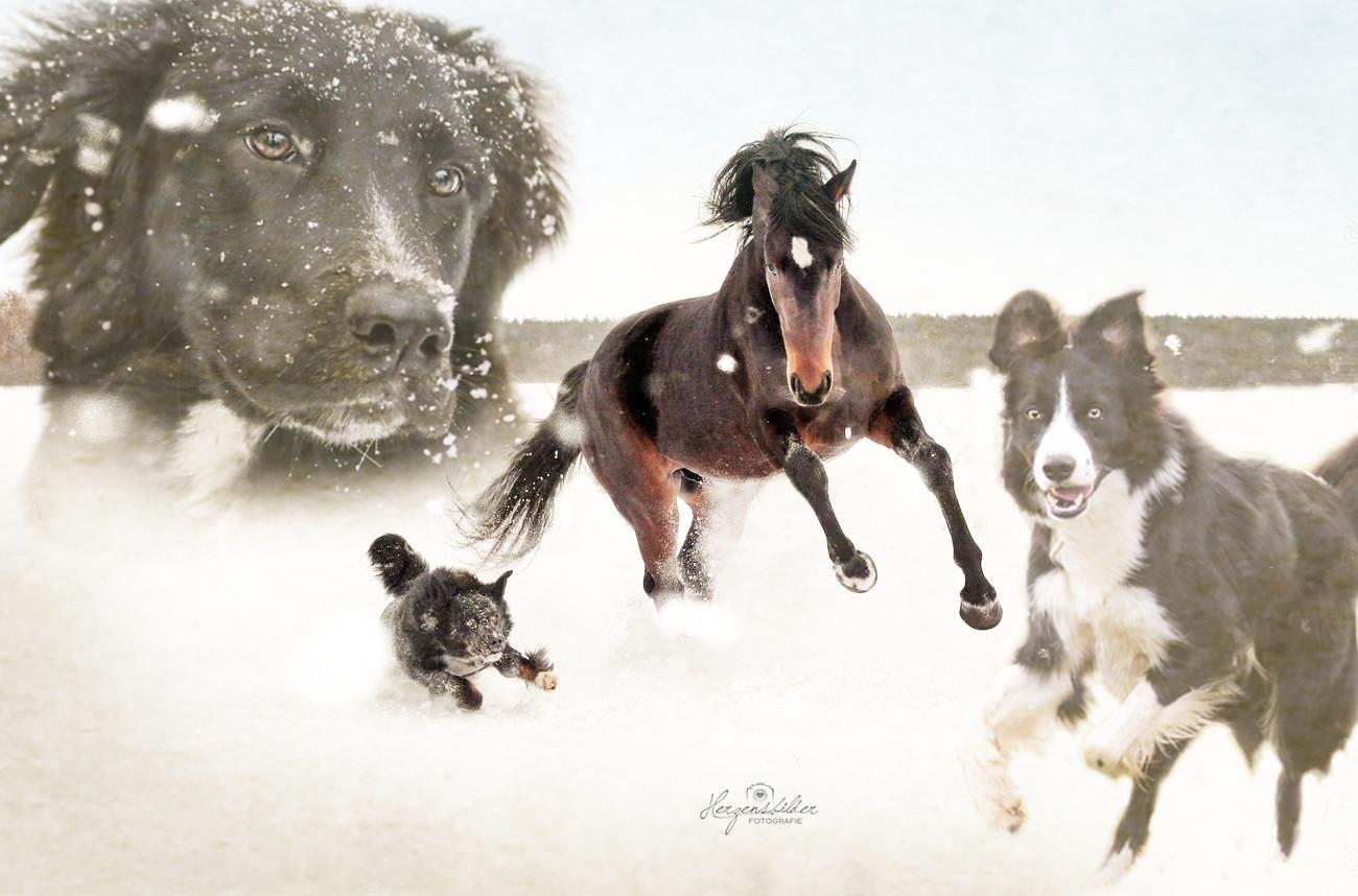 Tierfotografie Halle Tierfoto Pferd Hengst Border Collie