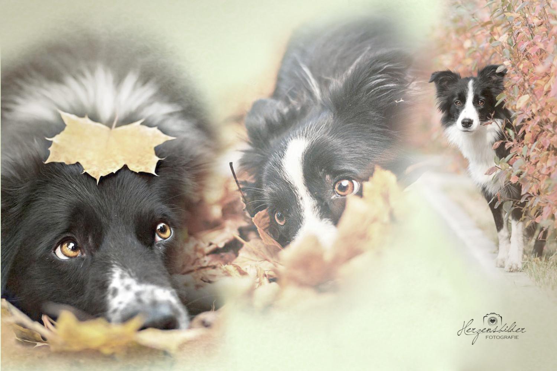 Border Collie Gehorsam Hundeschule Halle Saltan Gindulin Ihr Hundepartner Halle  Tierfotografie Welpe Hund