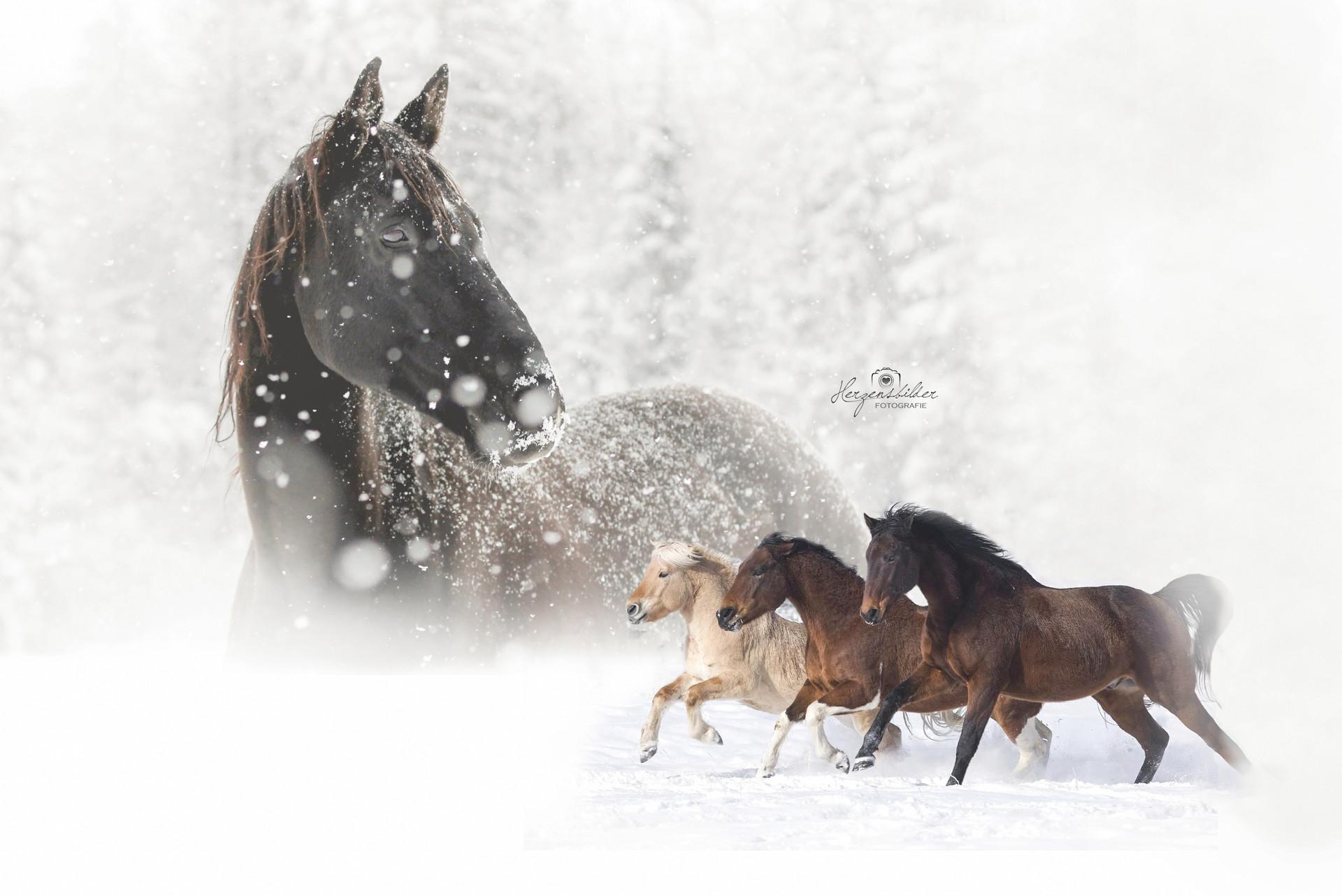 Pferde Wildpferde Hengst Schnee reiten Halle Fotos Pferd SeaHorse Ranch