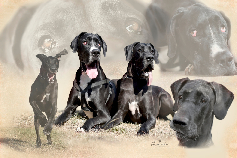 Tierfotografie Halle Tierfoto Deutsche Dogge