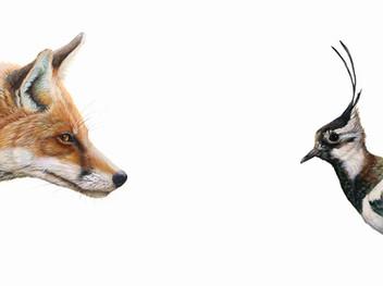 Top Predator - Fox & Lapwing