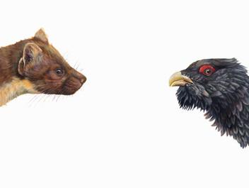 Top Predator -Marten & Capercaille