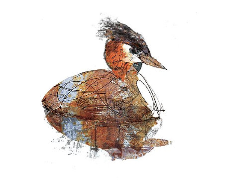 """'Great Crested Grebe' 8"""" X 10"""" PRINT"""