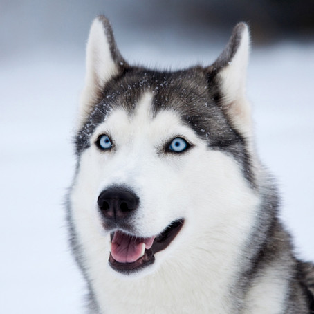Siberian-huskies, Alaskanmalamutes y Bull-terries , problemas dermatológicos por falta de Zinc