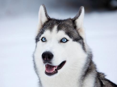 Dog-sledding - add it to your 'bucket list'