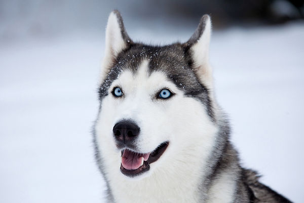 Husky Elanora Dog Walking & Pet Sitting