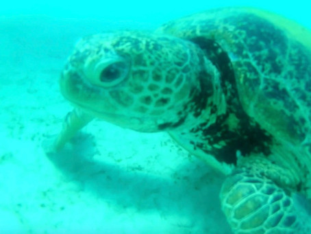 Instead of Eating Jellyfish, the Sea Turtles are Eating Plastic Bags!