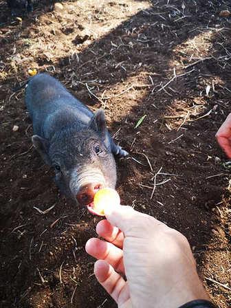 fresopolis_mallorca_minischwein_füttern