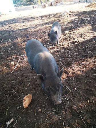 fresopolis_mallorca_zwei-minischweine.jp