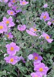 Cistus: A Natural Antibiotic, Antiviral, and Biofilm Buster