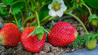 The Unheralded Strawberry: Finally Getting Attention