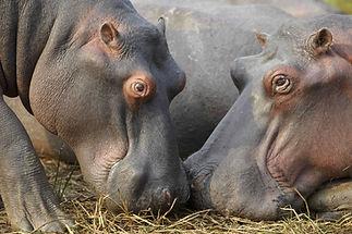 tour-hippo.jpg