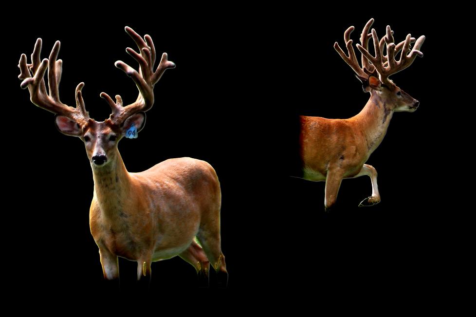 Breeder 94 comp pedigree.png